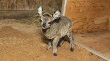 Florida zoo welcomes 27.5 ounce baby klipspringer antelope