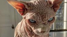Gruselig oder süß? Diese Nacktkatze ist ein Star auf Instagram