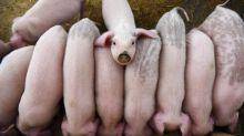 Exportação de carne suína do Brasil ultrapassa marca de 100 mil t pela 1ª vez, diz ABPA