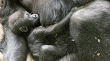 Baby gorilla badly injured in family skirmish at Seattle zoo