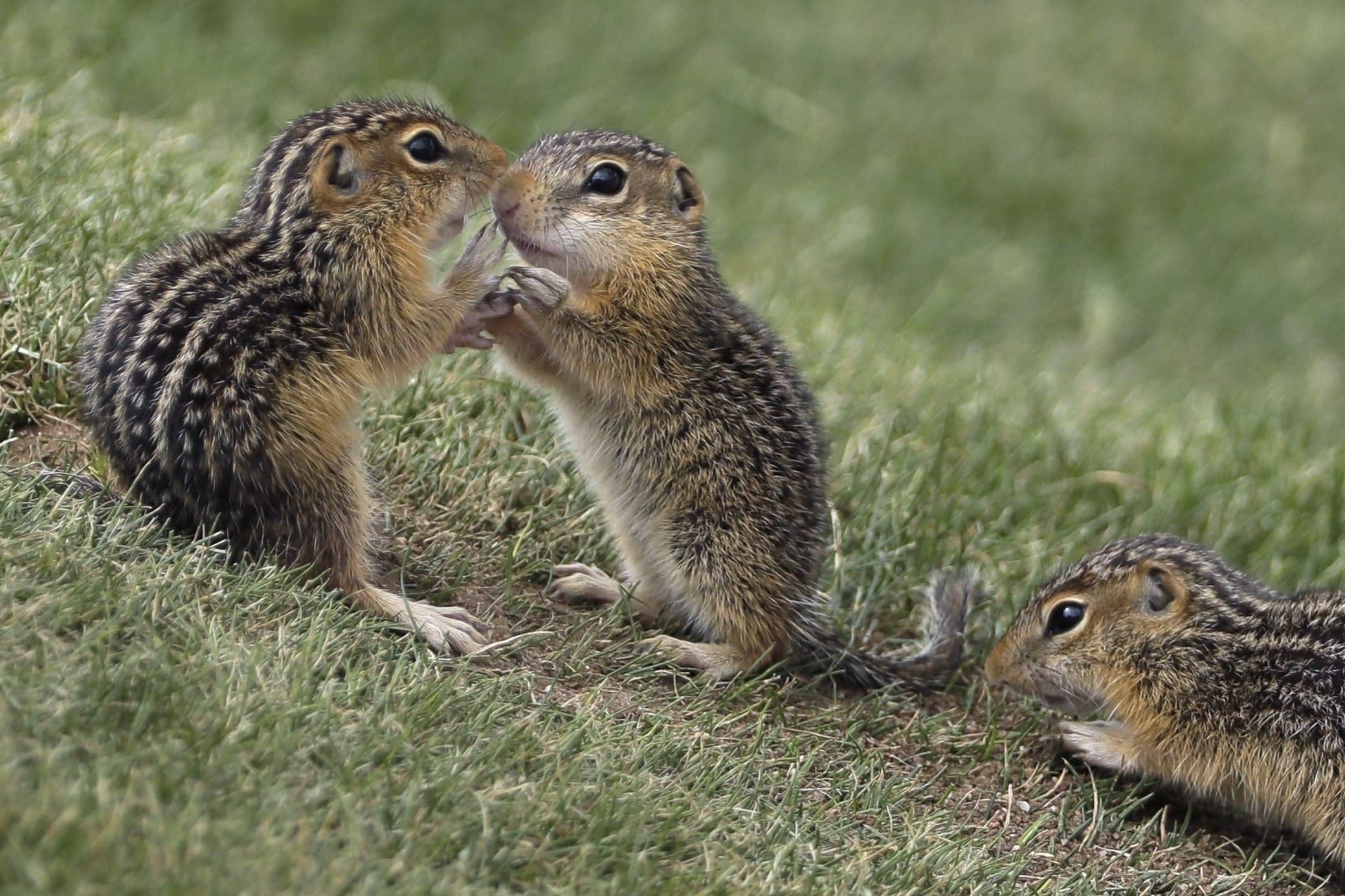 Chipmunks Amok
