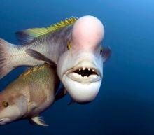 Transgender fish filmed changing sex for BBC's Blue Planet II