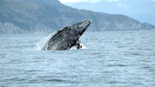 Gray Whale Facts: All About the Species Adorning Oregon License Plates