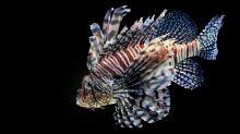 Le poisson-lion, l'espèce qui menace la biodiversité en Méditerranée