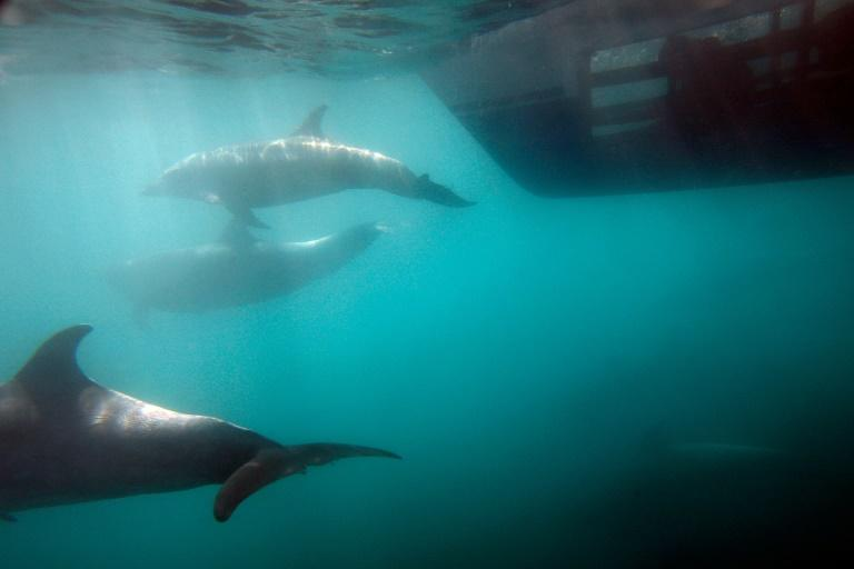 Dolphins were among several types of animals the US Central Intelligence Agency began training and testing for secret missions in the 1960s (AFP Photo/DAVID MCNEW)