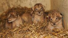 Zoológico reconoció que sacrificó a nueve cachorros de león