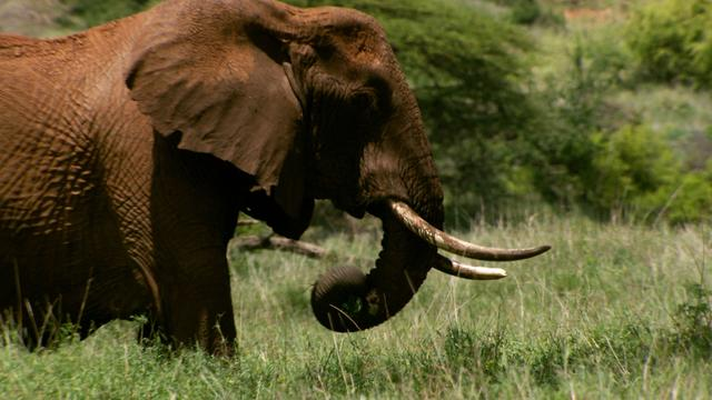 Web Extra: Growing evidence of link between ivory poaching and terrorism, Wildlife Conservation Society chief says