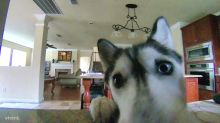 Husky notices hidden camera, avoids making mess in kitchen