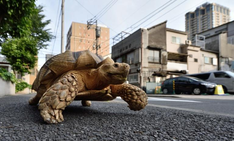 Shell-shocked: A woman has been fined for walking a turtle -- but not this one -- in locked-down Rome