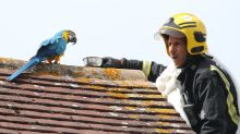 Foul-mouthed parrot swears at firefighters during roof rescue