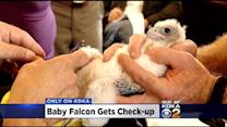 Peregrine Falcon Chick Receives Check-Up