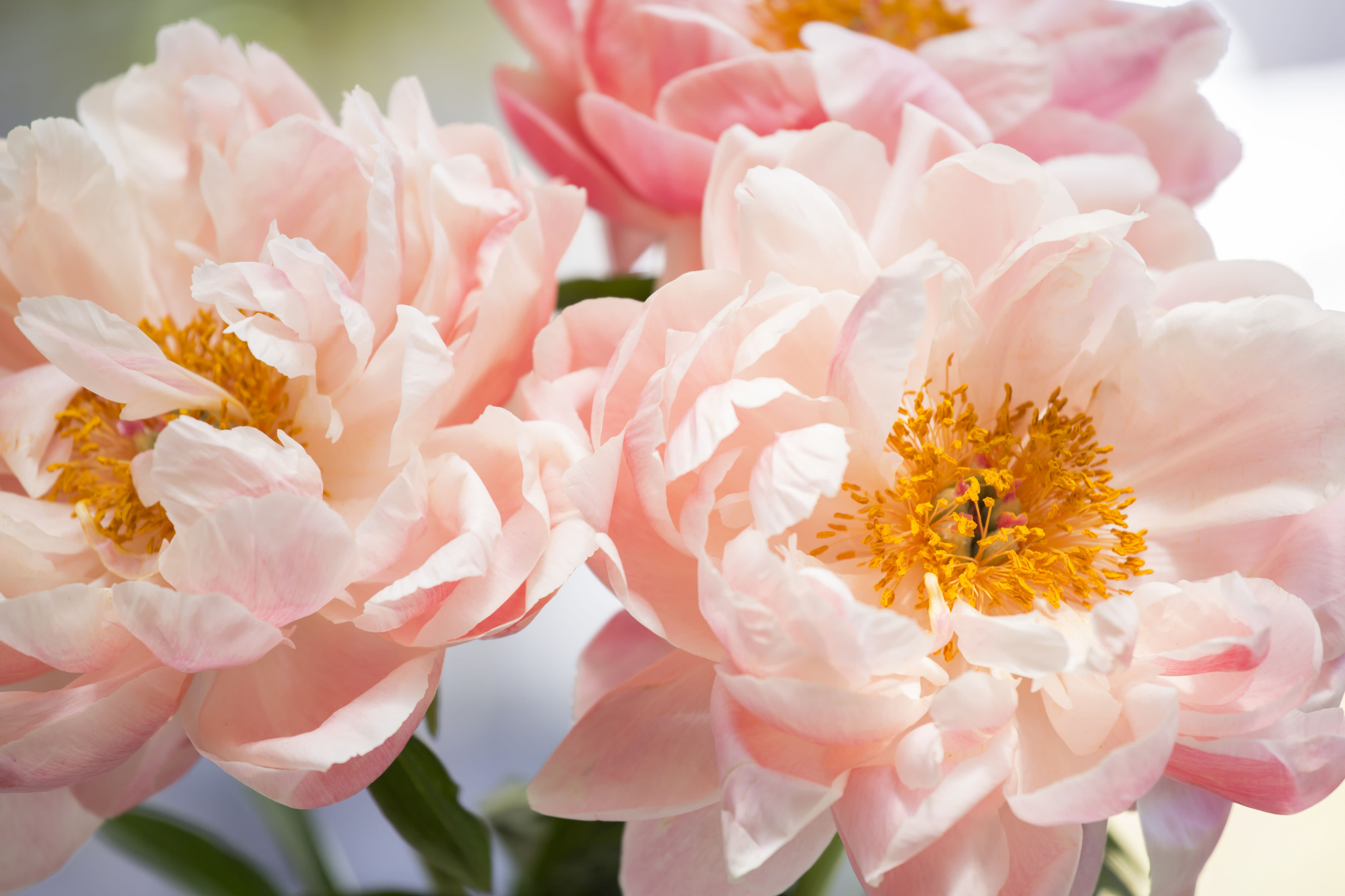 These Peony Colors Will Brighten Up Your Garden