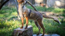 Un renard cleptomane vole des dizaines de chaussures d'un quartier à Berlin