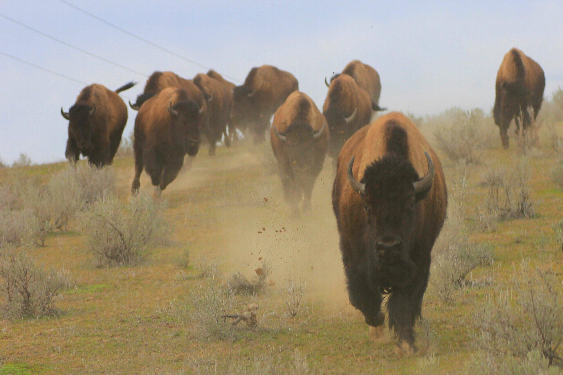 Reporter Avoids Bison Encounter At Yellowstone