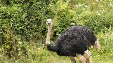 Brite entdeckt Abbild eines Vogels Strauß an einem unerwarteten Ort