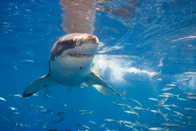 Whoa: A great white shark was caught jumping straight out of the water really close to a bunch of surfers and we can't stop watching