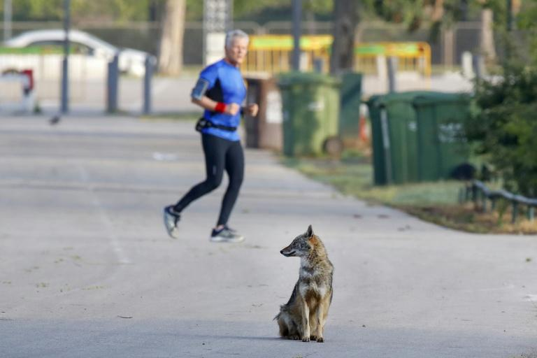 A jackal sits on a paved pathway in Hayarkon Park as a jogger passes nearby in the Israeli coastal city of Tel Aviv (AFP Photo/JACK GUEZ)