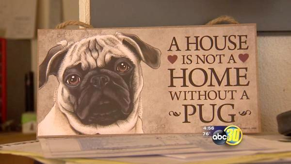 Clovis Bicycle Shop's pug mascot is missing