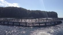 About 400 escaped salmon recaptured in Hermitage Bay