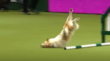 Please just watch this good pupper race through the worst dog show run ever