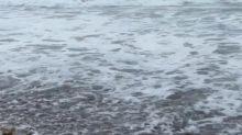 Baby Sea Turtle Ventures Into Stormy Surf on Jupiter Beach