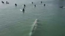 Drone footage captures whale swimming dangerously close to surfers