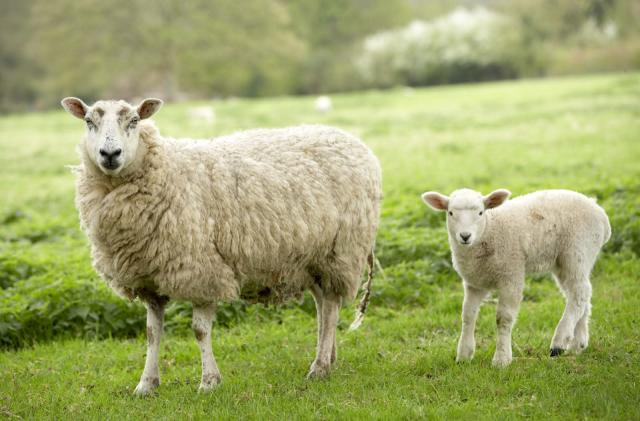 Facial recognition software can sense when a sheep is in pain