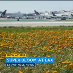Wildflower super bloom lining the runways at LAX