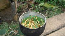 Un té amazónico usado por chamanes fomenta la formación de nuevas neuronas