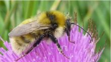 This Cute Little Buzzy Fella Is Nearly Extinct And Desperately Needs Your Help