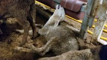 Australia restricts live sheep exports after shocking treatment