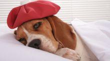 Descubre si tu perro tiene gripe canina
