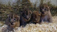 Swedish zoo admits killing nine 'surplus' lion cubs