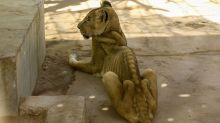 Photos of starving lions in Sudan spark campaign to save them