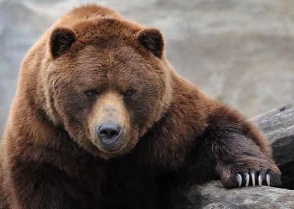 Bears Not Attracted to Menstruating Women