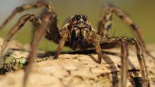 Montpellier: Sept classes d'une école élémentaire fermées après l'invasion d'araignées-loups