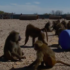 Watch: Four baboons escape animal research centre after propping barrel against wall
