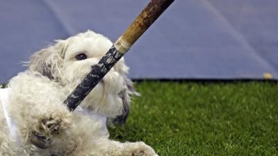 Milwaukee Brewers' Adopted Mascot Is Big Hit