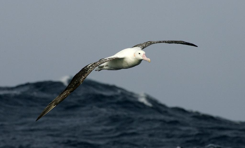 An albatross flying over the Indian Ocean islands of Crozet. Some will be equipped with radar beacons