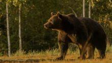 """Le """"roi"""" des ours roumains abattu par un prince du Liechtenstein"""