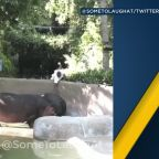 LAPD investigating man who trespassed, slapped hippo's butt at LA Zoo