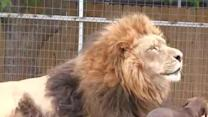 Tiny dog helps his lion buddy out