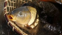 Carpe diem: Invasive fish feeds hungry in South Africa's lockdown