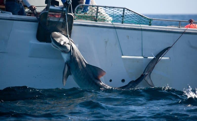 Shark kill injunction denied