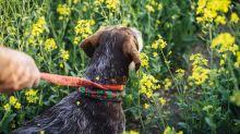 Vorsicht: Auf diese Pflanze reagieren manche Hunde extrem allergisch