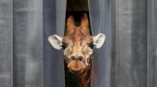 'Luxury' giraffe hotel set to open in Kent as visitor waiting list hits 9,000
