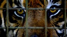 High school accused of 'exploiting animals' after having tiger, other caged animals at prom