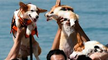VIDEO: Corgis swarm Sentosa beach