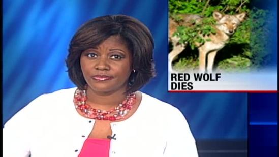 Red wolf dies at Jackson Zoo