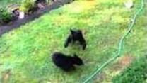 Two Bear Cubs Slug It Out in the Garden